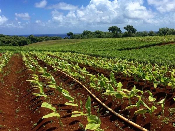 Trên hòn đảo này, ông chủ Facebook cho xây dựng một trang trại hữu cơ với đa dạng các loại cây trồng như gừng, nghệ, hay đu đủ, và chăn nuôi dê, rùa. Ảnh: Business Insider.