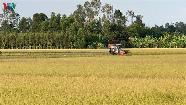 Giá lúa gạo có xu hướng tăng tới cuối năm.