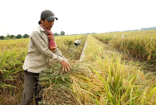 Thu hoạch lúa ở Cần Thơ. Ảnh: Quý Hoà