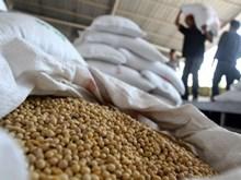 Indonesia cần nhập thêm 40.000 tấn đậu tương mỗi năm