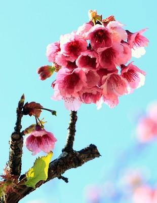 Chùm ảnh tuyệt đẹp hoa anh đào nở rộ ở Sapa trước Giáng sinh