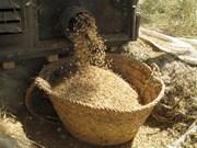Ngành nông nghiệp Myanmar tìm lại thời hoàng kim