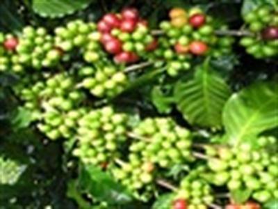 Cà phê Việt Nam - Cơ hội và thách thức