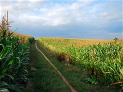 Pháp thông qua dự luật cấm trồng ngô biến đổi gen