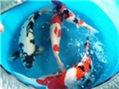 Hơn 400 cá chép Nhật giá ngàn