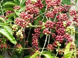 Sản lượng cà phê Tây Nguyên có thể đạt 1 triệu tấn niên vụ 2012-2013