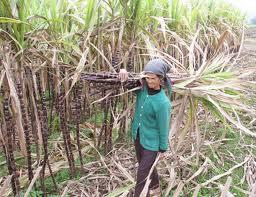 Giá đường Ấn Độ niên vụ 2012-2013 có thể tăng do diện tích trồng mía giảm
