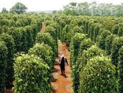 Diện tích trồng tiêu Tây Nguyên tăng mạnh