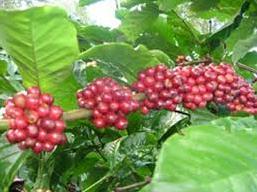 Xuất khẩu cà phê Việt Nam tháng 4 giảm mạnh