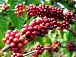 Vì sao các doanh nghiệp xuất khẩu cà phê Tây Nguyên thua lỗ?