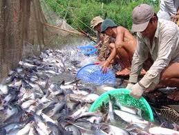 Thiếu hàng, giá cá tra tăng trở lại
