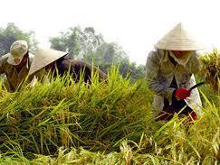 Giá lúa gạo ĐBSCL tăng