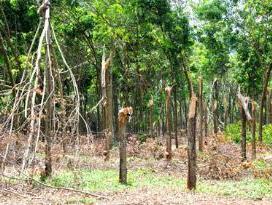 100 nghìn cây cao su tại Bình Phước đã bị gãy đổ vì lốc