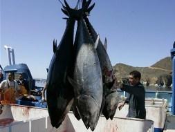 Cá ngừ nhiễm phóng xạ Fukushima xuất hiện ở bờ biển Mỹ