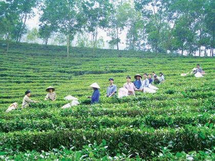 Giá chè Thái Nguyên tăng 10 - 15%