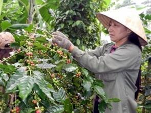 Giá cà phê nhân xô ở Đắk Lắk lên mức cao nhất từ đầu vụ