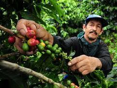 Barclays: Sản lượng cà phê Colombia 2012 có thể xuống mức thấp nhất 4 thập kỷ