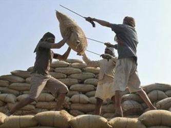 Ấn Độ tăng mạnh giá thu mua lúa gạo khi được mùa