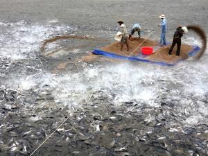 Nguy cơ thiếu nguồn nguyên liệu cá tra vào cuối năm