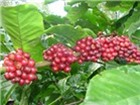 Sản lượng cà phê Việt Nam niên vụ 2012-2013 sẽ giảm 15%