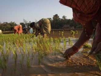 Sản lượng gạo Ấn Độ dự báo đạt kỷ lục niên vụ 2012-2013