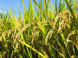 Sản lượng gạo vụ mùa chính của Thái Lan dự báo tăng 22%