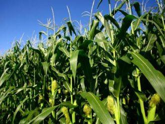 6.300 tấn ngô và đậu nành nhập khẩu bị nhiễm mọt TG
