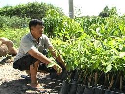 Giá cao su giống tại Bình Phước giảm 50% so với cùng kỳ