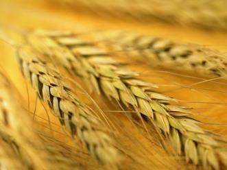 Sản lượng lúa mỳ thế giới dự báo giảm còn 671 triệu tấn niên vụ 2012-2013