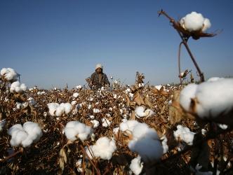 Giá bông Ấn Độ tăng do nhu cầu tăng mạnh