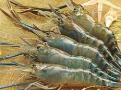 Trên 33.000 ha tôm chết tại đồng bằng Sông Cửu Long