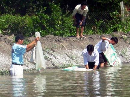 Hàng chục hecta nuôi tôm ở Tiền Giang chuyển sang ương cá tra giống