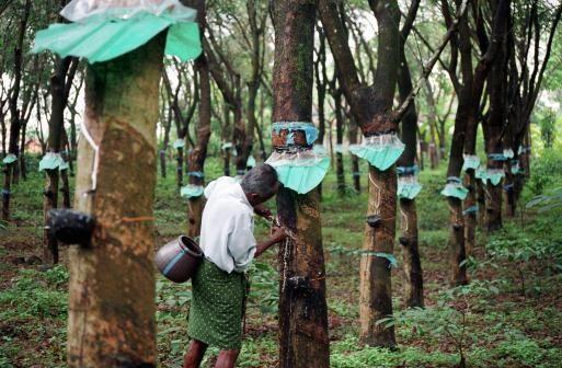 Thái Lan chi 15 tỷ baht để trợ giá cao su