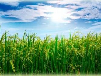 Ấn Độ tăng cường trồng lúa basmati do thiếu mưa