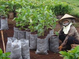 Vicofa sẽ hỗ trợ Tây Nguyên 296.000 cây cà phê giống