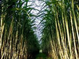 SBT và BHS trồng mới 3.500 ha mía tại Campuchia