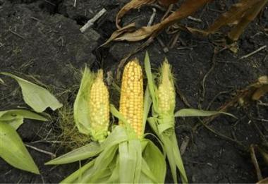 Giá nông sản tăng trở lại do dự báo mưa không thể cứu mùa màng tại Mỹ
