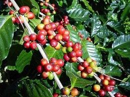 Việt Nam sẽ tăng gấp đôi sản lượng cà phê arabica đến 2020