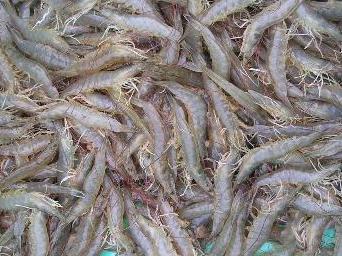 6.000 hộ nuôi tôm Trà Vinh đã khắc phục thiệt hại