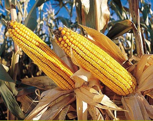 Giá nông sản lấy lại đà tăng do sản lượng tại Mỹ giảm