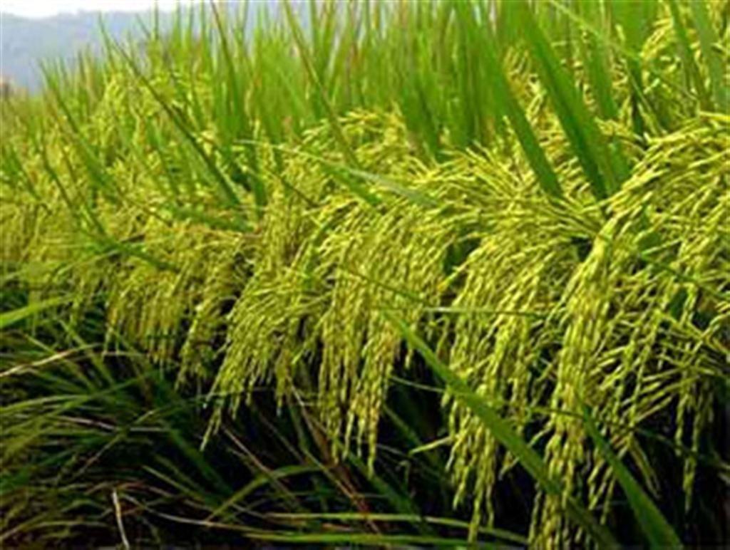 Sản lượng ngũ cốc Ấn Độ sẽ vẫn cao dù bị hạn hán