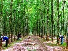 Bình Thuận trồng mới 420ha cao su
