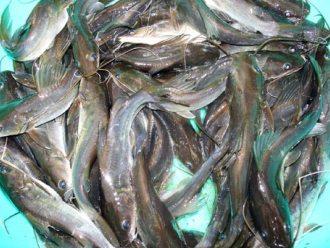 ĐBSCL: Chất lượng cá tra giống thấp