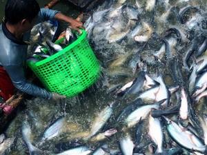 Hơn 100 tỷ đồng quy hoạch vùng cá da trơn ở Trà Vinh