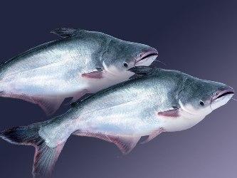 Xuất khẩu cá tra ĐBSCL đạt hơn 1,1 tỷ USD
