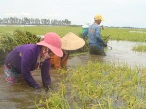 Giá lúa và mía tại Hậu Giang giảm mạnh so với đầu vụ