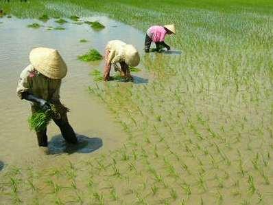 Nguy cơ mất dần đất trồng lúa và thiếu hụt nước tưới