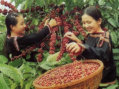 Xuất khẩu cà phê sang Indonesia tăng đột biến