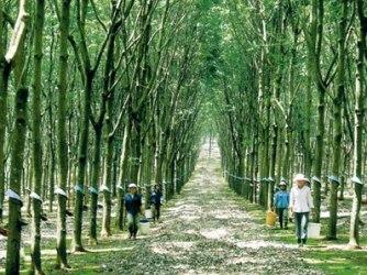 Giá cao su giảm mạnh khiến nông dân chặt bỏ cây
