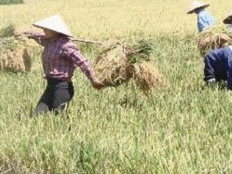 Sản lượng lúa cả năm 2012 ước đạt hơn 43 triệu tấn